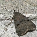 Hanham's Owlet - Hodges#8365 - Phalaenostola hanhami - female