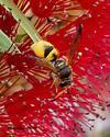 Potter and Mason Wasps (Eumeninae)