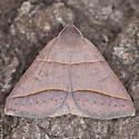 Ptichodis herbarum - female