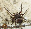 ID Request Spider - Neoscona crucifera