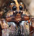 Spider - Tigrosa georgicola