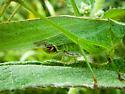 Katydid - Scudderia furcata - male