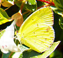 Little Yellow sulphur - Pyrisitia lisa