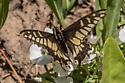 Anise swallowtail? - Papilio