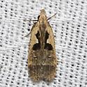 Bilobed Dichomeris - Hodges#2291 - Dichomeris setosella