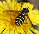Syrphid fly - Chrysotoxum - male