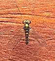 Condylostylus? - Amblypsilopus scintillans - male