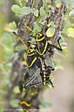 Desert Grasshopper - Taeniopoda eques - male - female