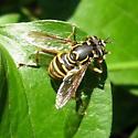 Spilomyia 01a - Spilomyia