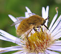 Late Summer Bee Fly #2 - Sparnopolius confusus