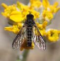 Beefly - Thevenetimyia