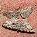 Melanolophia  - Melanolophia - male - female