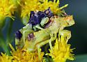 Phymata americana - male - female
