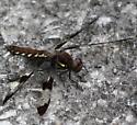 Dragonfly (Unknown) - Plathemis lydia - female