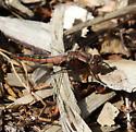 dragonfly - Ladona julia