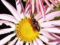 unidentified fly - Eristalinus aeneus