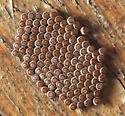 unhatched eggs - Alsophila pometaria