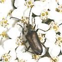 longhorn - Gnathacmaeops pratensis