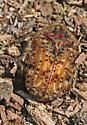 Beetle - Euphoria inda