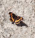 Joshua_Tree_National_Park_-_California_Patch_-_1 - Chlosyne californica