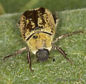 Round-Scaled Hoplia - Hoplia dispar