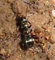 an ant from my yard - Formica podzolica