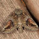 Oblique Heterocampa - Heterocampa obliqua
