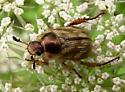 Anomala beetle - Exomala orientalis