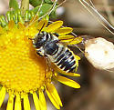 Little bee - leafcutter? - Megachile