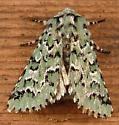 1143a Feralia cf. F. deceptiva - Deceptive Sallow Moth 10006 - Feralia deceptiva