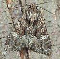 Adorable Brocade - Platypolia mactata