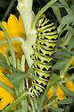 Butterfly - Caterpillar - Papilio polyxenes