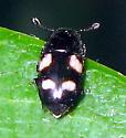 Beetle - Glischrochilus quadrisignatus