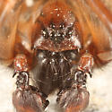 Funnel-Web Spider - male