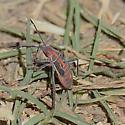 Hemiptera species - Boisea rubrolineata