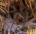 Agelenopsis potteri mating - male - female