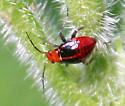 Bug ID Request - Poecilocapsus lineatus