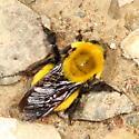 Bumblebee - Bombus morrisoni