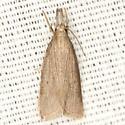 Crambine Snout Moth - Hodges #5478 - Diatraea evanescens