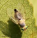 Fruit Fly - Neaspilota - female