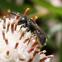 Lasioglossum (Dialictus?) ID Request - Lasioglossum