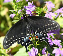 Black Swallowtail Emerging - Papilio polyxenes - female