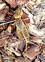 Mole Cricket - Neocurtilla hexadactyla