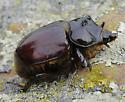 Rhinoceros Beetle - Strategus mormon - male