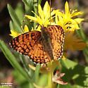 Nymphalidae: Phycoides mylitta - Phyciodes mylitta