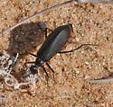 unknown beetle - Phodaga alticeps