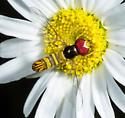 Common Oblique Syrphid - Allograpta obliqua - male