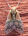 Bothriocera maculata
