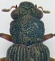 Hydrophilidae, head & pronotum - Hydrochus