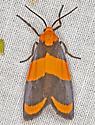 Moth, dorsal - Eudesmia arida